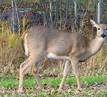 Whitetail Deer   by Teresa Zieba