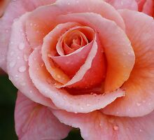 Apricot Rose by Sharon House