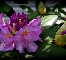 Rhododendron Flowers In The Spring  by Trish Hebendahl