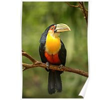 Toucan in Tree, Iguazu Falls, Brazil Poster