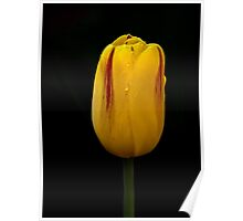 Tulip in the Rain, Olympic Peninsula, Washington State Poster