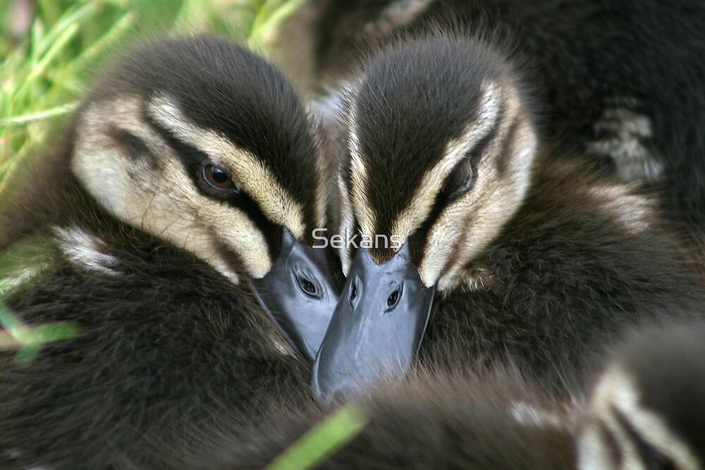 Ducklings by Sekans