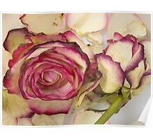 White pink roses Poster