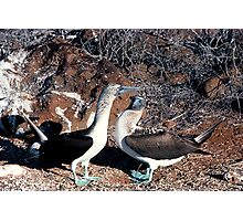 Blue Footed Booby courting in the Galapagos Islands Photographic Print