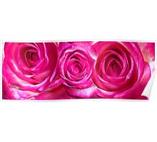 White pink roses 7 Poster