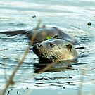 River Otter by Russell Couch