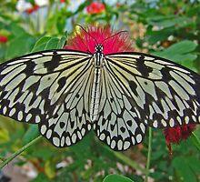 Paper Kite by Robert Abraham