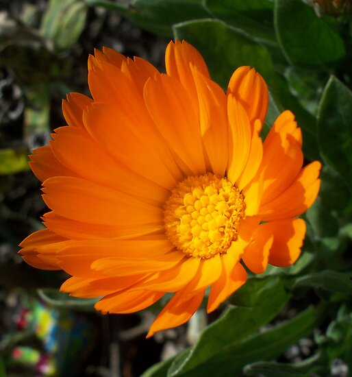 Bright flower in the mountain  by daffodil