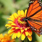Monarch Beauty: Wings Spread by Laurel Talabere