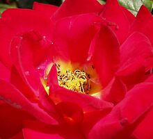 Red Rose by daffodil