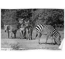 Grant's Zebra Poster