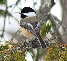 Chickadee In Winter by HALIFAXPHOTO
