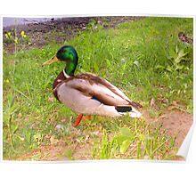 Duck ...  Poster