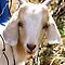 Just Kidding (Izzy's Goat World)
