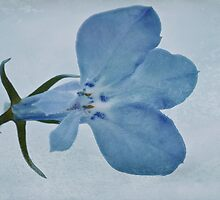 Blue Lobelia Macro by Sandra Foster