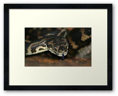 South-West Carpet Python by Sekans