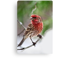 Christmas Finch Canvas Print