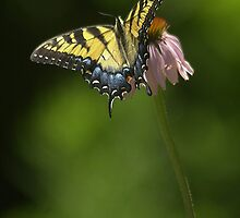 Swallowtail Butterfly by Eric Abernethy