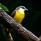 Yellow Jungle Bird by IanPharesPhoto