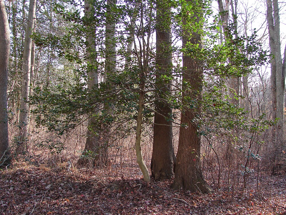 Holly  tree... by Glen Baker
