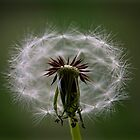Dandelion by Carly Chapman