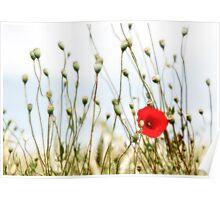 Poppy in field in France Poster