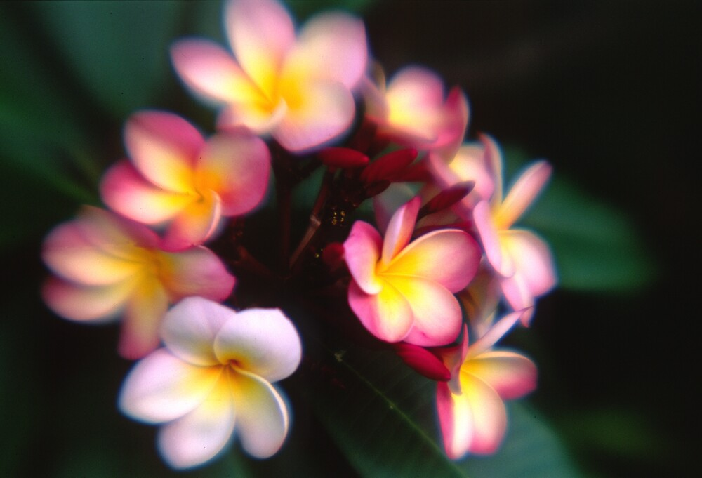 Frangipanis by Colin Leal