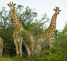 3 Long Necks by Warren. A. Williams