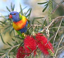 ROSELLA ON BOTTLEBRUSH TREE by David Lumley