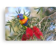 ROSELLA ON BOTTLEBRUSH TREE Canvas Print
