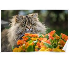Curious Cat Poster