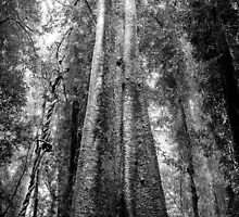 Tallest Tree in the Forest - Look Up! by Clare Colins