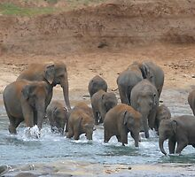 watering (Elephants in Sri-Lanka) by KaterinaSam
