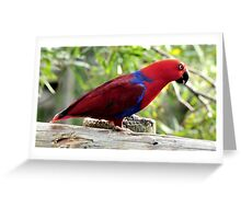 Eclectus Parrot Greeting Card
