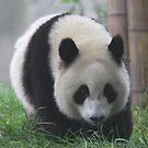 Chengdu Panda by James Godber