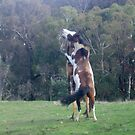 My two stallions playing in winter by springplains