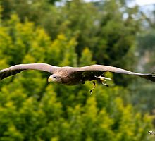 Soaring Eagle by Nigel Donald