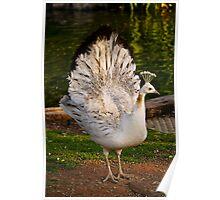 White Peahen Peafowl Poster