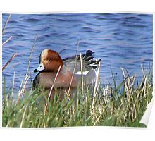 Widgeon Poster