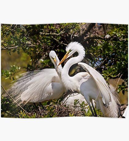 Egrets Build Nest Poster