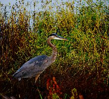 Stalking A Great Blue Heron...... by Angela Lance