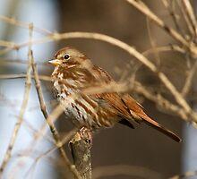 Fox Sparrow by lloydsjourney