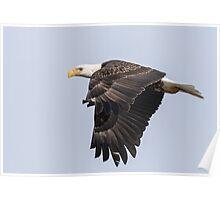 American Bald Eagle 2015-19 Poster
