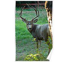 Colorado Mule Deer Poster