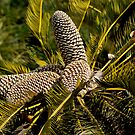 Drakensberg Cycad Cones, Encephalartos ghellinckii by RatManDude