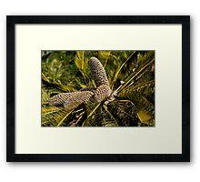 Drakensberg Cycad Cones, Encephalartos ghellinckii Framed Print