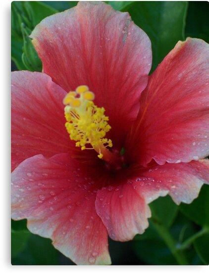 Hibiscus  by Shaina Haynes