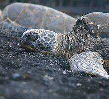 Endangered Hawaiian Turtle by Randy Richards