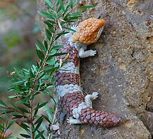 Colorful Shingleback skink by Kyme