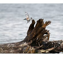 Female Belted Kingfisher Photographic Print